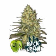 Black Dream semillas feminizadas | Eva Seeds