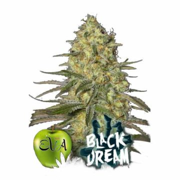Eva Seeds Black Dream