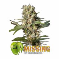 Missing in Barcelona (M.I.B.) semillas feminizadas | Eva Seeds