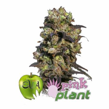 Eva Seeds Pink Plant