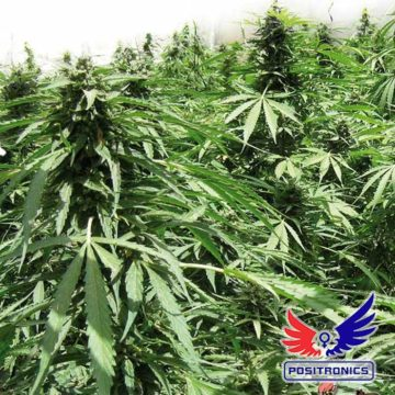 Afghan Express Positronic Seeds