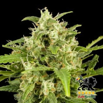 Critical Horrendus Jah Seeds