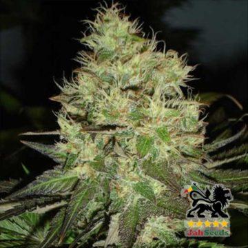 Jack Horrendus Jah Seeds