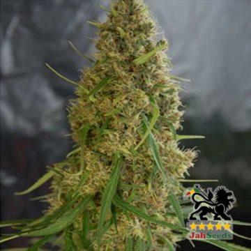 Jah Light Jah Seeds