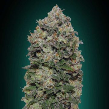 Northern-Lights-00-seeds-02