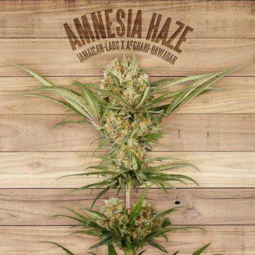 Amnesia Haze The Plant Organic Seeds