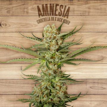 Amnesia The Plant Organic Seeds