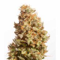 Atomic Jukebox semillas feminizadas | Mr Natural Seeds