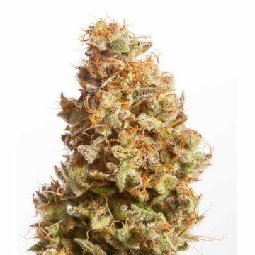 Atomic Jukebox Fem Mr Natural Seeds