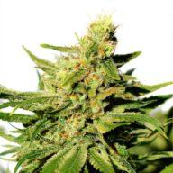 BCN Diesel CBD semillas feminizadas   Kannabia