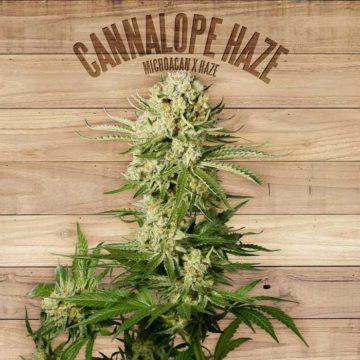 Cannalope Haze The Plant Organic Seeds