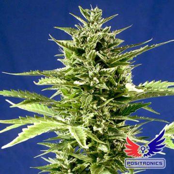 Jack Diesel Express Positronic Seeds