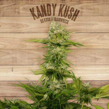 Kandy Kush The Plant Organic Seeds