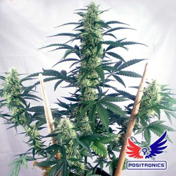 May Day Express Positronic Seeds