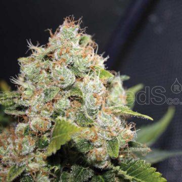 Medical Seeds Bcn Sourdiesel
