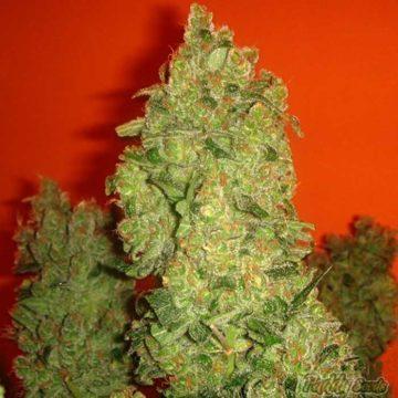 Medical Seeds Jack La Mota