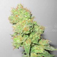 Y Griega CBD semillas feminizadas | Medical Seeds