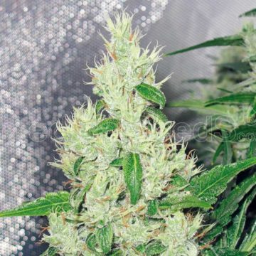 Medical Seeds Y Griega