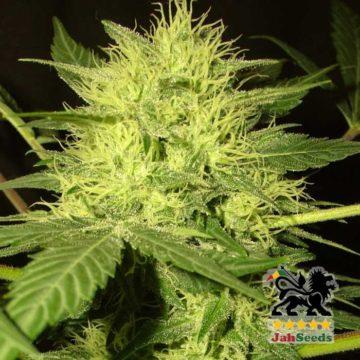 Meditation Jah Seeds