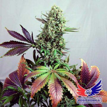 Purple Haze1 Positronic Seeds