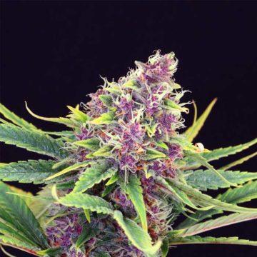 Purple Kush Kannabia