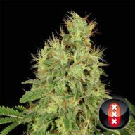 CBD Chronic semillas feminizadas (6 semillas)   Serious Seeds