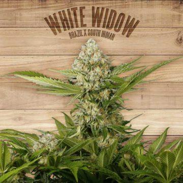 White Widow The Plant Organic Seeds