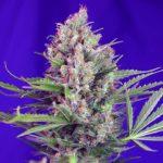 Cream-Mandarine-F1_Sweet_Seeds