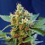 Cream-Mandarine-Xl-Auto_Sweet_Seeds