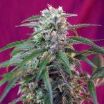 Green-Poison-Auto_Sweet_Seeds