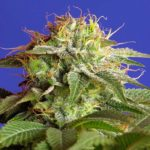 Green-Poison-F1_Sweet_Seeds