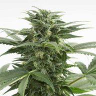 Haze XXL Autoflowering semillas autoflorecientes | Dinafem