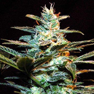 Ice Cool Sweet Seeds