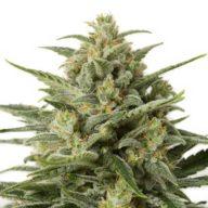 White Widow XXL Autoflowering semillas autoflorecientes   Dinafem