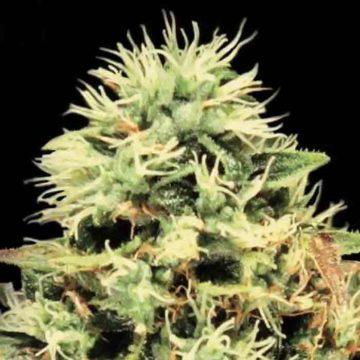 Greenhouse Seeds Super Bud