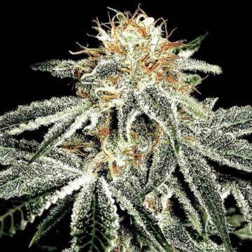Greenhouse Seeds White Widow