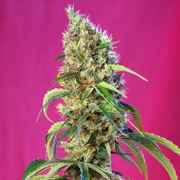 Black Jack Cbd Sweet Seeds