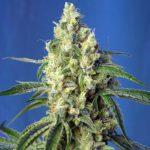 Green-Poison-Cbd_Sweet_Seeds