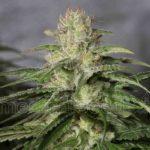 Medical_Seeds_Og-Kush-Cbd