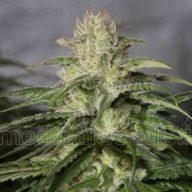 OG Kush CBD semillas feminizadas | Medical Seeds