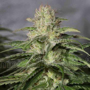 Medical Seeds Og Kush Cbd