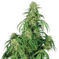 Buddha Calamity Jane Auto semillas autoflorecientes | Buddha Seeds