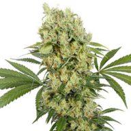 Buddha Medikit CBD semillas feminizadas | Buddha Seeds