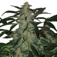 Buddha Deimos Auto semillas autoflorecientes | Buddha Seeds