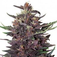 Buddha Purple Kush Auto semillas autoflorecientes | Buddha Seeds