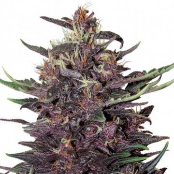 Buddha Seedsbuddha Purple Kush Auto