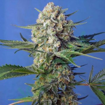 Crystal Candy F1 Fast Version Sweet Seeds