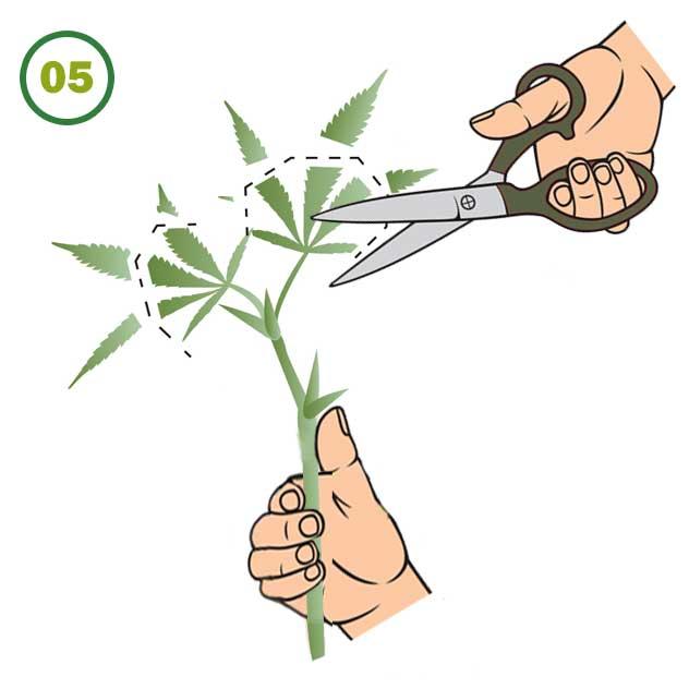 Esquejes De Marihuana 05