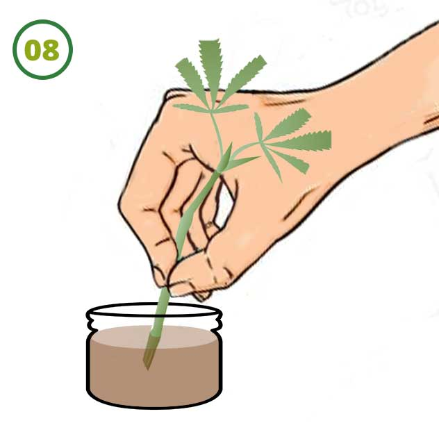 Esquejes De Marihuana 08 1