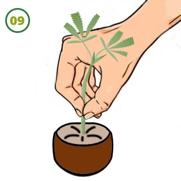 Esquejes De Marihuana 09 1